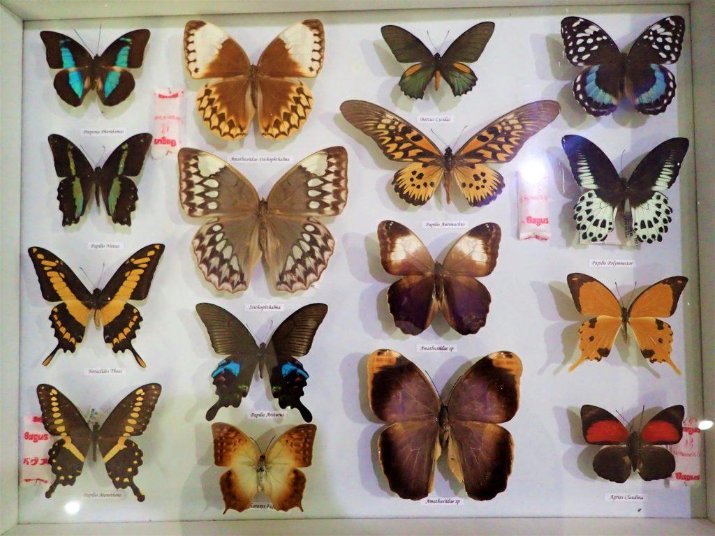butterflyparakbali